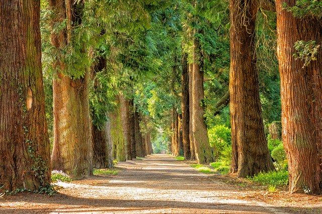 grands arbres sur un chemin